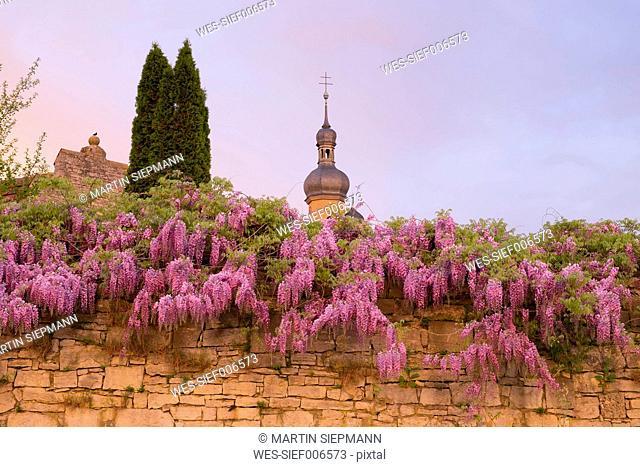 Germany, Bavaria, Lower Franconia, Eibelstadt, Chinese Wisteria on city wall