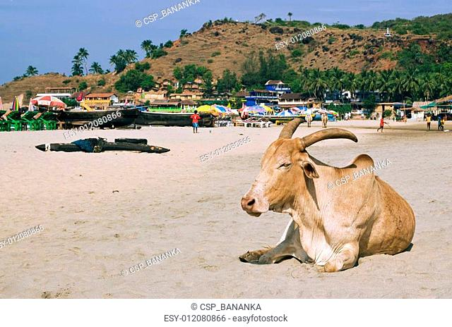 Zebu (Indian humped ox) is laying on the beach