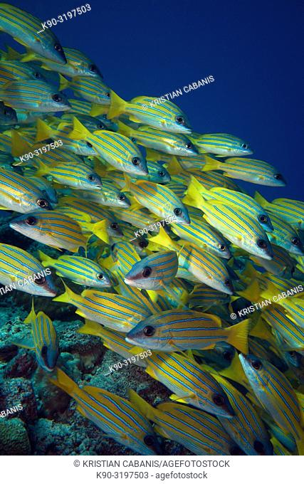 School of Bluestripe Snapper (Lutjanus kasmira), Indian Ocean, Maldives, South Asia