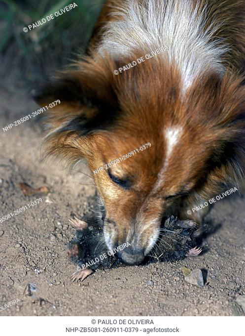 Mole, Talpa europaea. Dog catching mole. Portugal