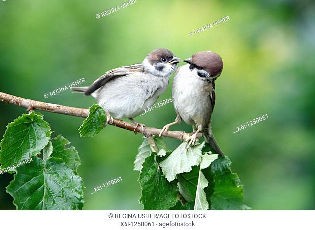 Tree Sparrow Passer montanus, young bird begging for food from parent, Germany