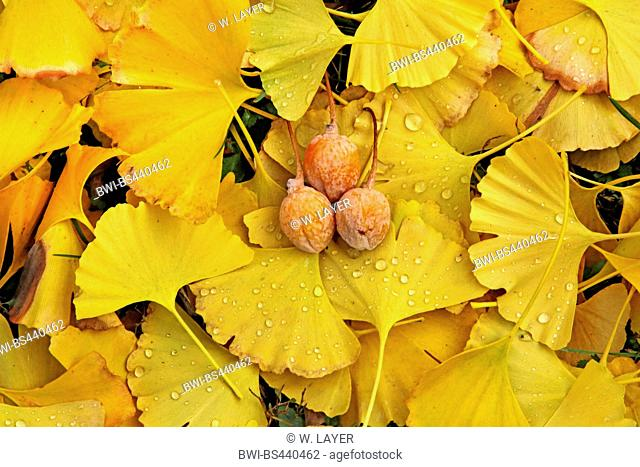maidenhair tree, Ginkgo Tree, Gingko Tree, Ginko Tree (Ginkgo biloba), ginkgo leaves and seeds on the ground, Germany
