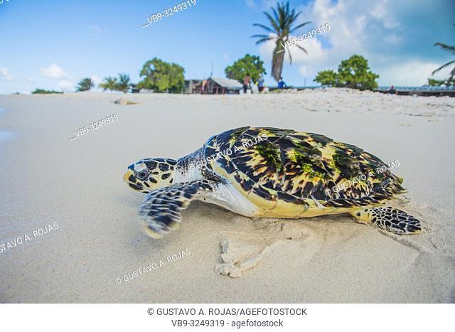Turtle (Eretmochelys imbricata, Cheloniidae family)