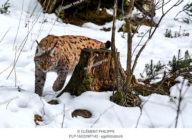 Eurasian lynx (Lynx lynx) stalking prey in the taiga in the snow in winter