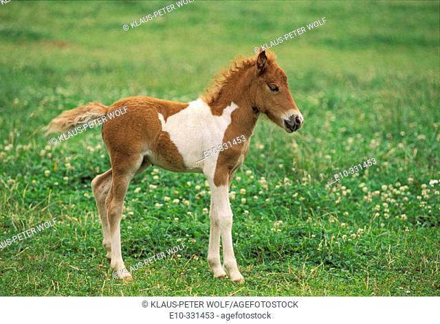 Shetland Pony. 10 days old foal