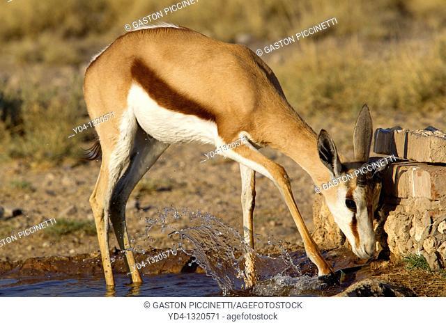 Springbok Antidorcas marsupialis, in the waterhole, Mabuasehube, Kgalagadi Transfrontier Park, Kalahari desert, Botswana