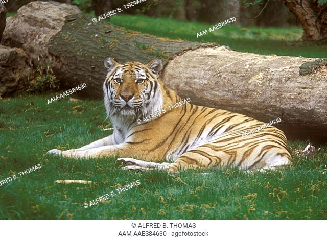 Siberian Tiger, female (Panthera tigris altaica), Bronx Zoo, New York