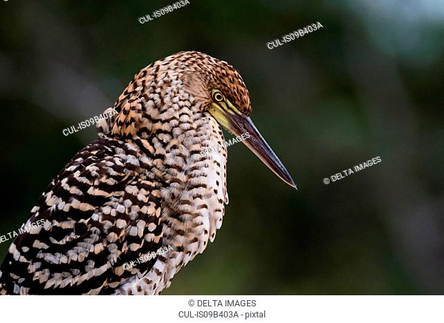 Side view portrait of a juvenile rufescent tiger heron (Tigrisoma lineatum), Pantanal, Mato Grosso, Brazil