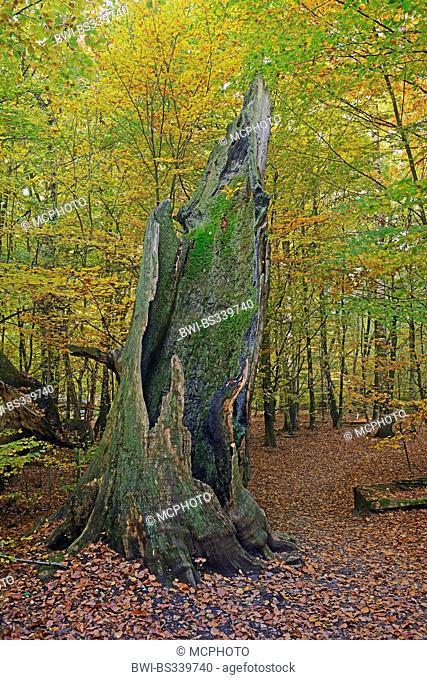 Gnarled trunk of a willow, Reichenau island, Lake Constance, Baden ...