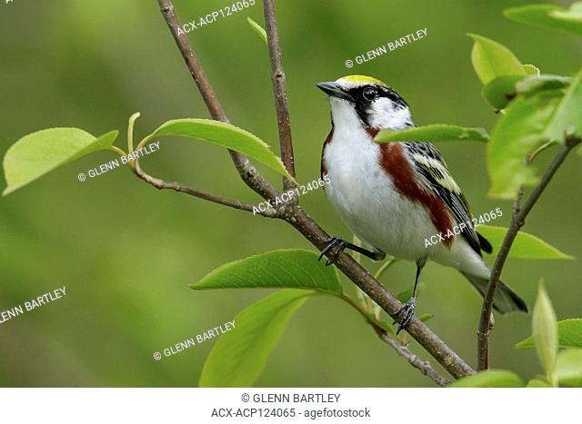 Chestnut-sided Warbler (Dendroica pensylvanica) perched on a branch in Southeastern Ontario, Canada