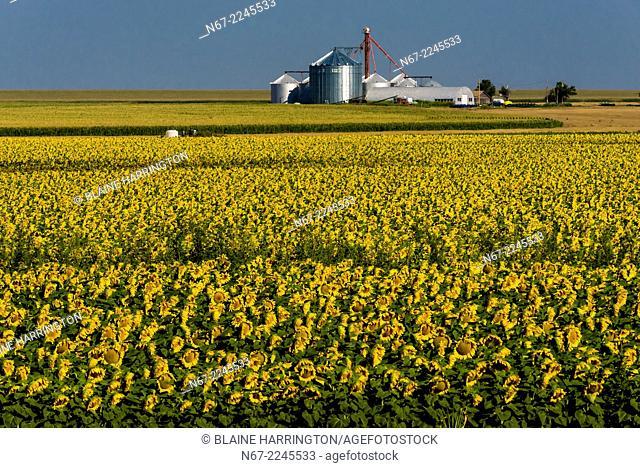 Sunflower fields, Schields & Sons Farm, near Goodland, Western Kansas USA