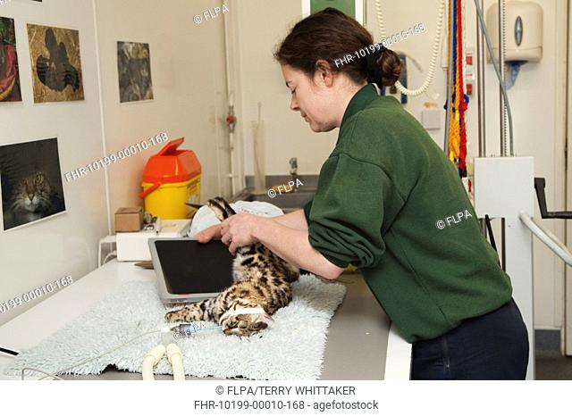 Black-footed Cat Felis nigripes adult, anaesthetized, with nurse setting up x-ray for health check, Port Lympne Wild Animal Park