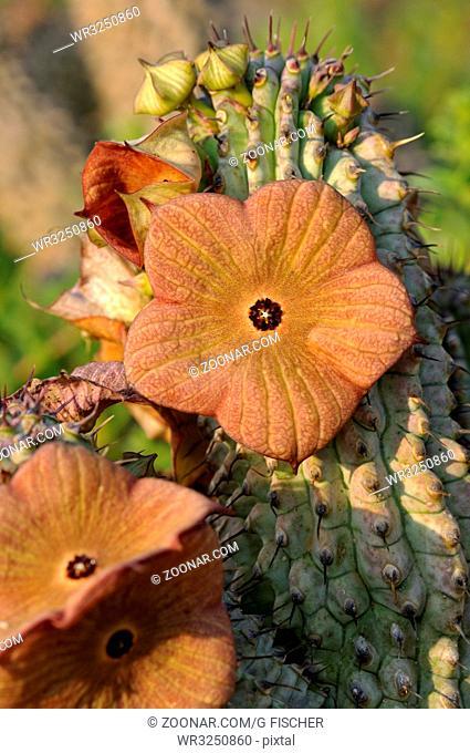 Hybrid Hoodia gordonii x Hoodia pilifera, Südafrika / Hoodia gordonii X Hoodia pilifera hybrid flower, South Africa