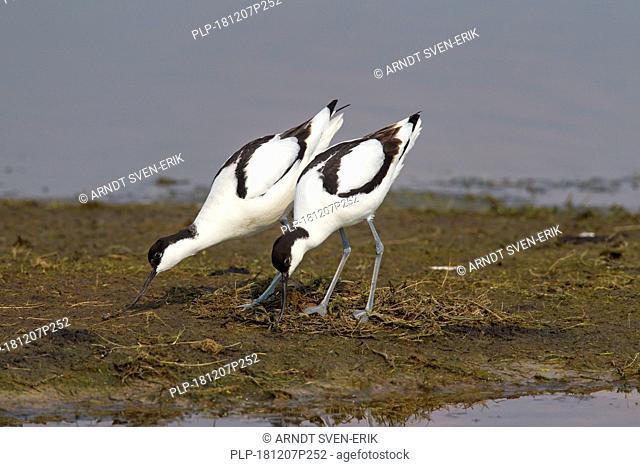Pied avocet (Recurvirostra avosetta) pair building nest in wetland