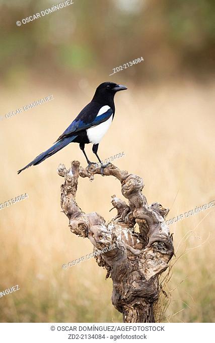 Common Magpie (Pica pica) perched on branch. Albufera Natural Park. Valencia Community. Spain