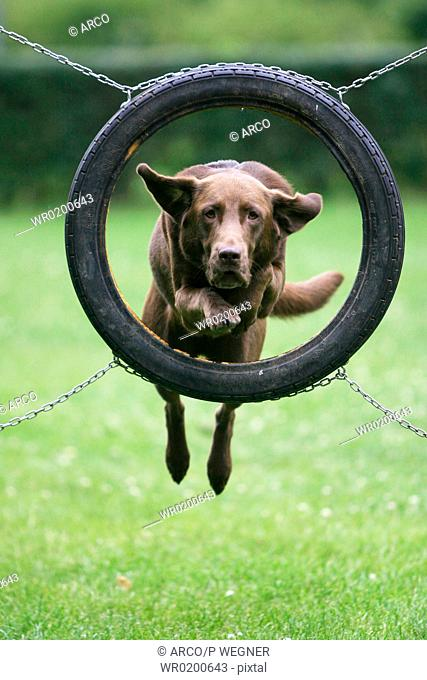 Labrador, Retriever, jumping, through, tyre,Agility