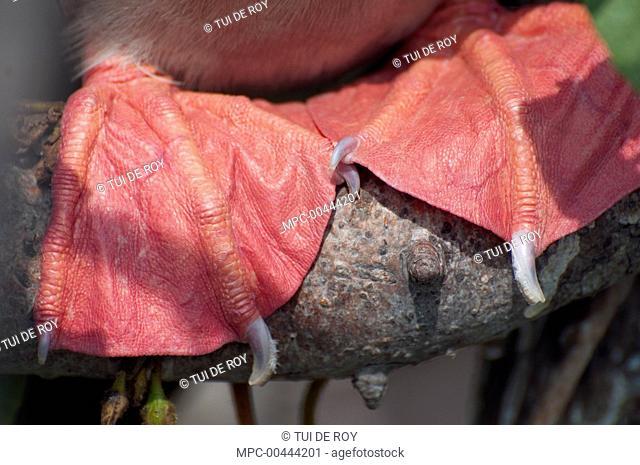 Red-footed Booby (Sula sula) feet, Galapagos Islands, Ecuador