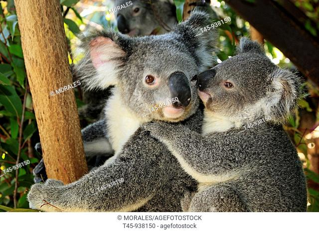 Koalas (Phascolarctos cinereus). Queensland, Australia
