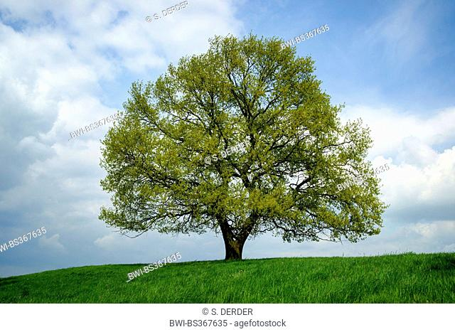 common oak, pedunculate oak, English oak (Quercus robur), big shooting oak on a hill, Germany, North Rhine-Westphalia, Eifel