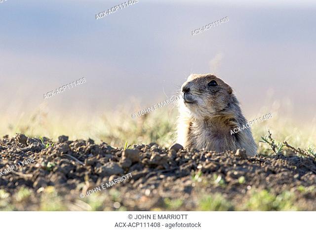 Black-tailed prairie dog, Cynomys ludovicianus, Grasslands National Park, Saskatchewan, Canada