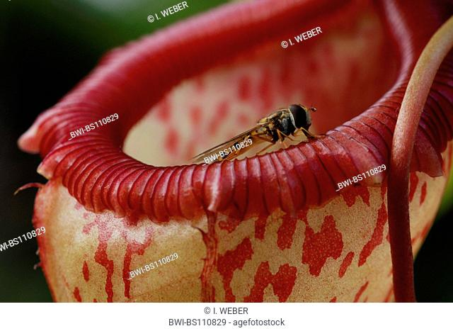 pitcher plant (Nepenthes spec.), upper part of the trap and fly