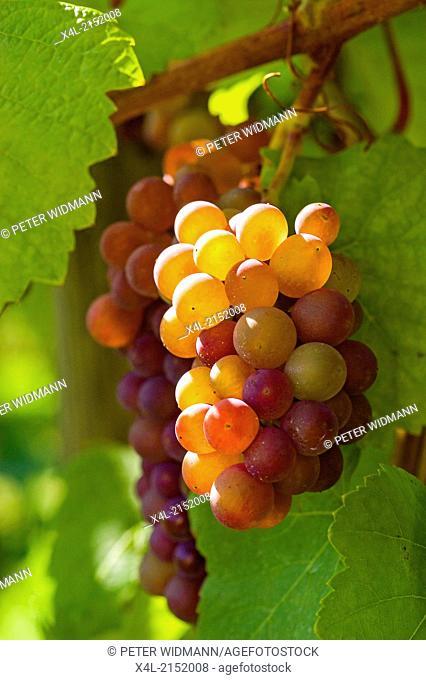 grape Pinot Gris