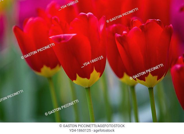Tulipa Red Didier, Keukenhof, Nederland