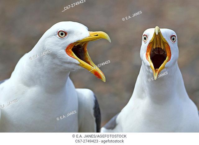 Lesser Black-backed Gulls Larus fuscus calling from shoreline. Norfolk England UK