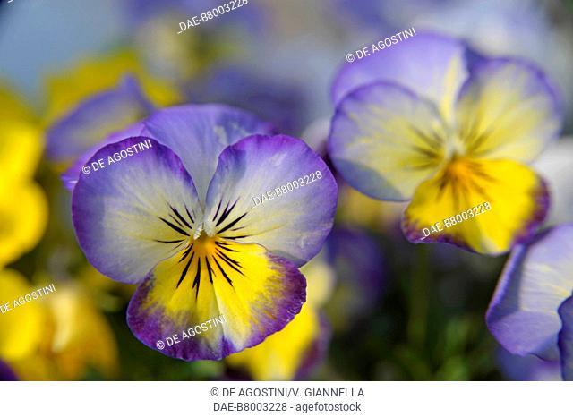 Field Pansy (Viola bicolor), Violaceae, Villa Melzi d'Eril Garden, Bellagio, Lombardy, Italy