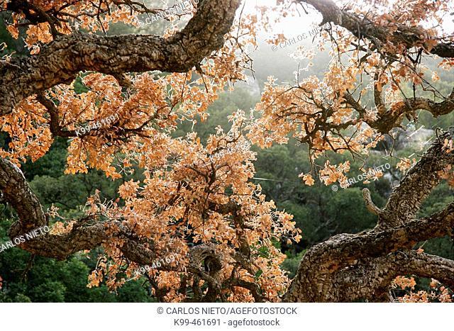 Cork Oak in Los Alcornocales Natural Park. Tarifa, Cádiz province, Andalusia, Spain