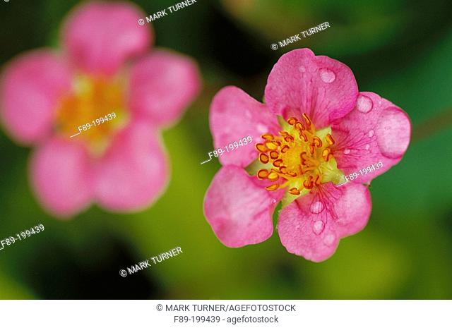 Strawberry blossoms (Fragaria 'Pink Panda')
