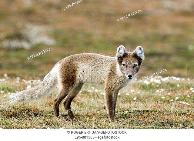 Arctic Fox Vulpes lagopus seeking carrion or other food source, Svalbard