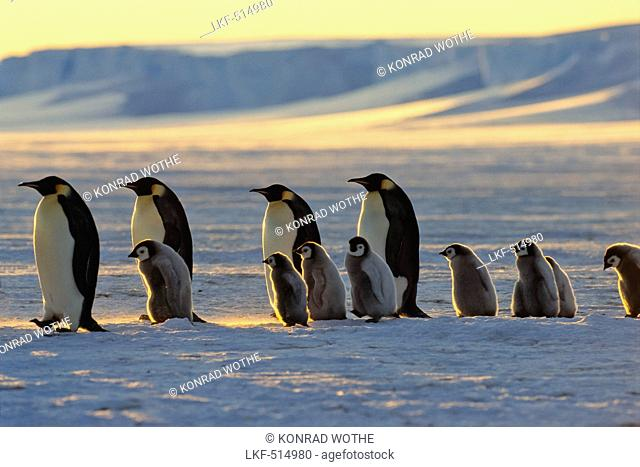 Emperor Penguins with chicks walking at sunset, Aptenodytes forsteri, iceshelf, Weddell Sea, Antarctic