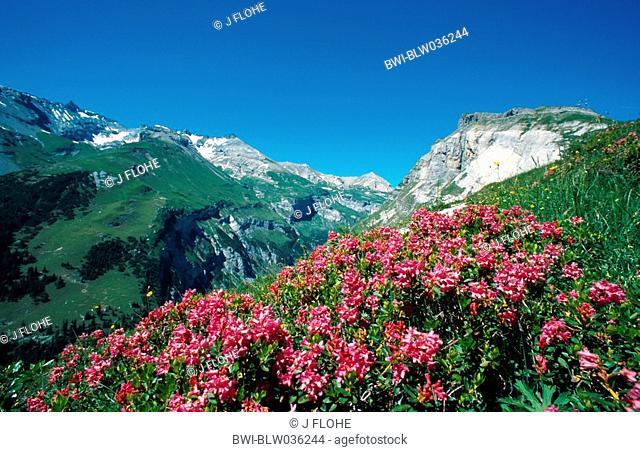 hairy alpine rose Rhododendron hirsutum, blooming, Switzerland, Graubuenden, Flims
