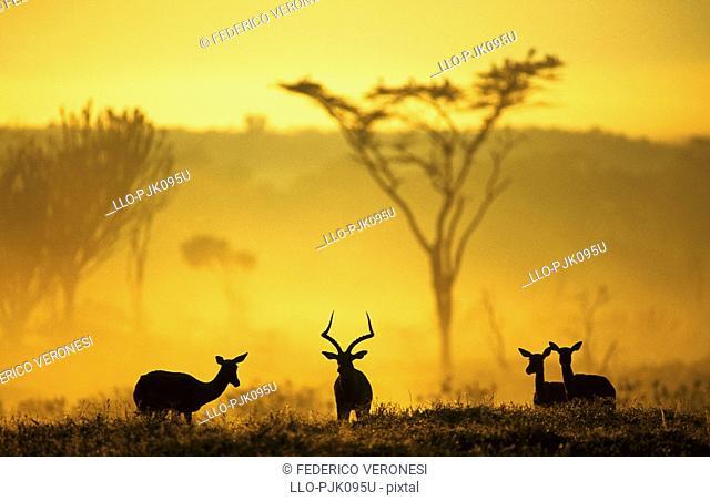 Impalas Aepyceros melampus in early morning mist, Lake Nakuru National Park, Kenya, Africa