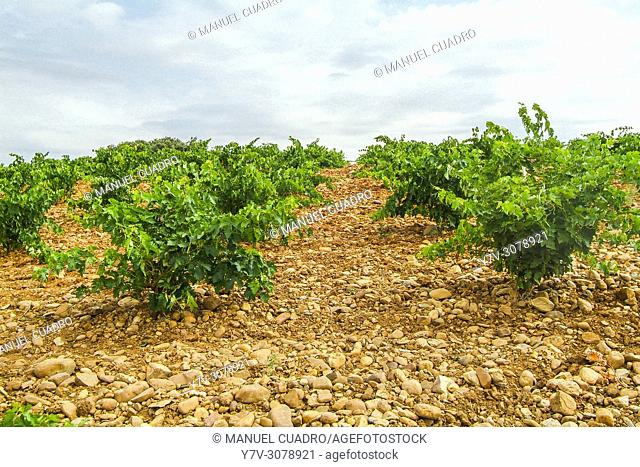 Vineyards. Bodega Dos Victorias, D.O. Rueda, 'verdejo' grape variety. Valladolid province, Castile-Leon, Spain