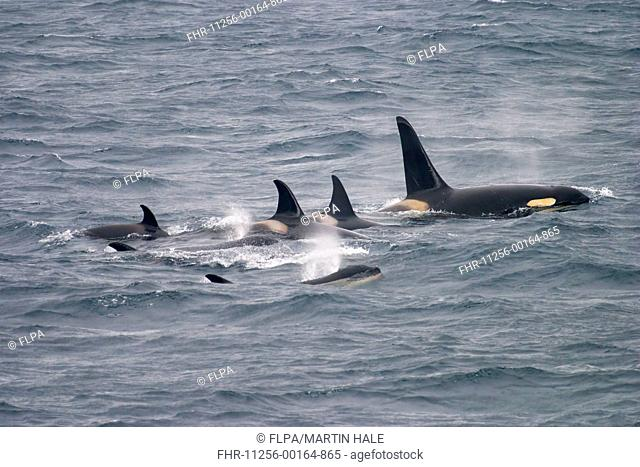 Killer Whale (Orcinus orca) adult, sub-adults and young, pod swimming at surface off coast, Kamchatka Peninsula, Kamchatka Krai, Russia, June