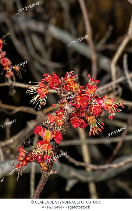 Red Maple (Acer rubrum) Male Flowers, First Flowers of Spring