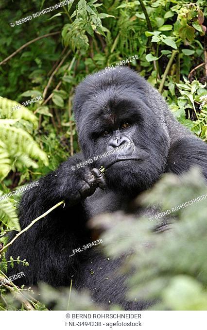 Mountain gorilla, Gorilla gorilla beringei, Virunga Nationalpark, East Africa, Africa