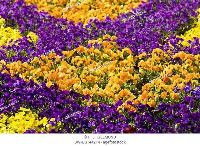 Pansy, Pansy Violet (Viola x wittrockiana, Viola wittrockiana, Viola hybrida), flowerbed, Netherlands, Northern Netherlands