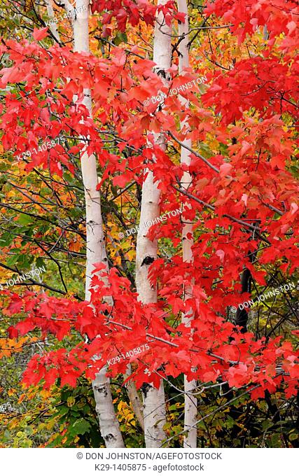Acer rubrum Red Maple Autumn foliage with white birch tree trunks