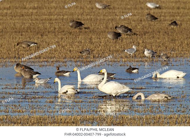 Whooper Swan (Cygnus cygnus), Greylag Goose (Anser anser), PInk-footed Goose (Anser brachyrhynchus) and European Herring Gull (Larus argentatus) mixed flock