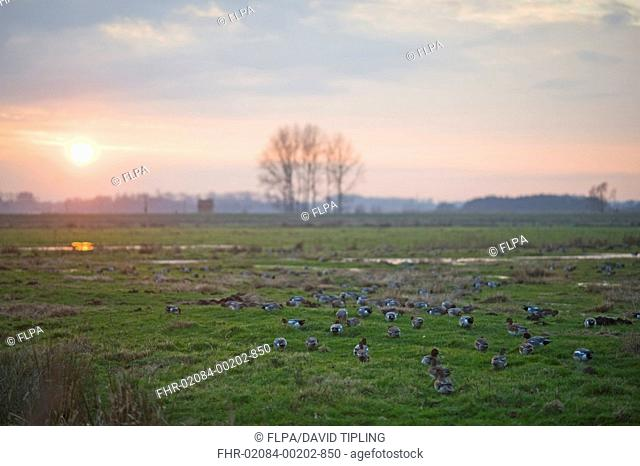 Eurasian Wigeon Anas penelope flock, grazing on pasture habitat at sunset, Buckenham Marshes RSPB Reserve, River Yare, Yare Valley, The Broads, Norfolk, England