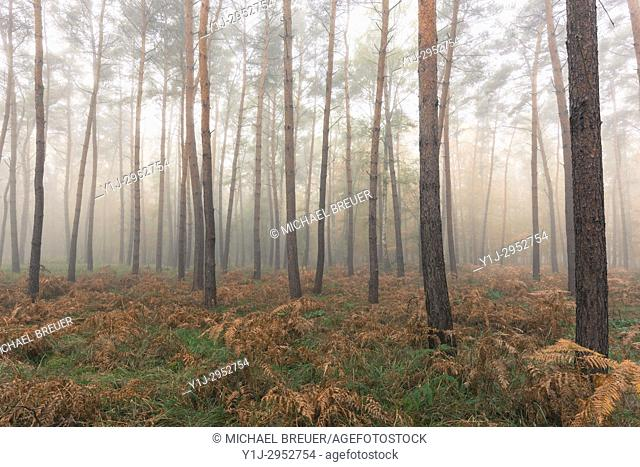 Pine Forest on misty morning, Hesse, Germany, Europe