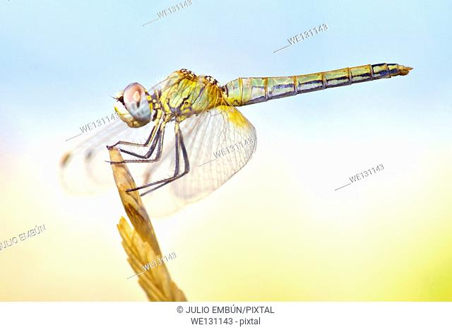 Dragonfly with big eyes balanced on the tip of a branch in the summer sun