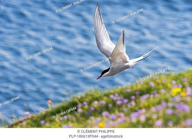 Arctic tern (Sterna paradisaea) skimming over sea cliff top along the Scottish coast, Scotland, UK