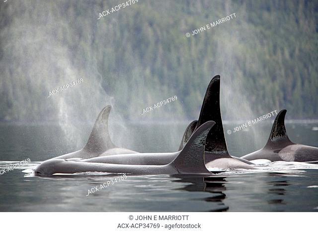 Orca pod Orcinus orca in Johnstone Strait, West Coast, British Columbia