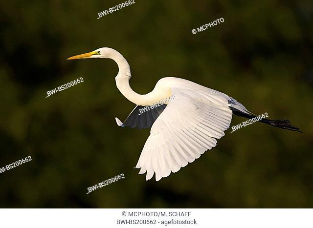 great egret, Great White Egret (Egretta alba, Casmerodius albus, Ardea alba), flying, USA, Florida