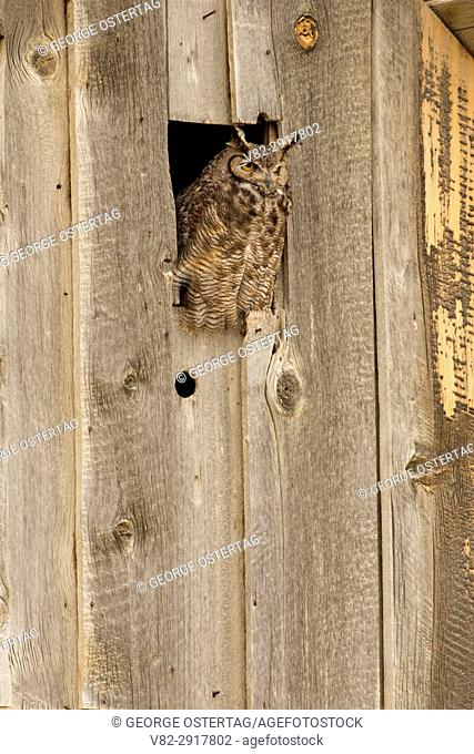 Great horned owl (Bubo virginianus) at River Ranch barn, Summer Lake Wildlife Area, Oregon Outback Scenic Byway, Oregon