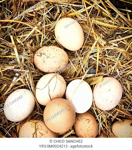 Free range natural eggs for sale in Tangier, Morocco, Africa